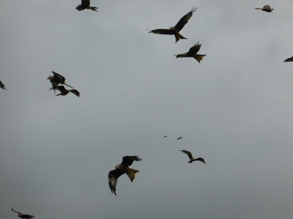 Red Kites at Gigrin Farm